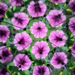 Vue de fleurs violettes à l'intérieur du kaléidoscope Huckleberry