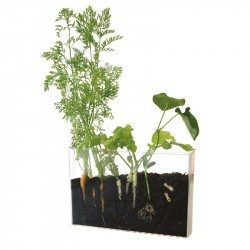 Vivarium - Radis et Capucine - racines et vers de terre