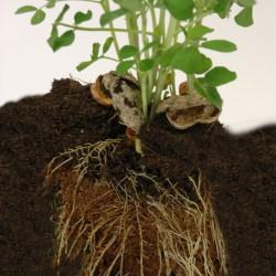 Kit cacahuètes à faire pousser radis et capucine