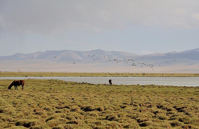 chevaux et vol d'oiseaux au bord d'un lac au Kirghizstan