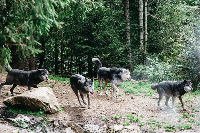 les loups du parc Alpha au moment du nourrissage