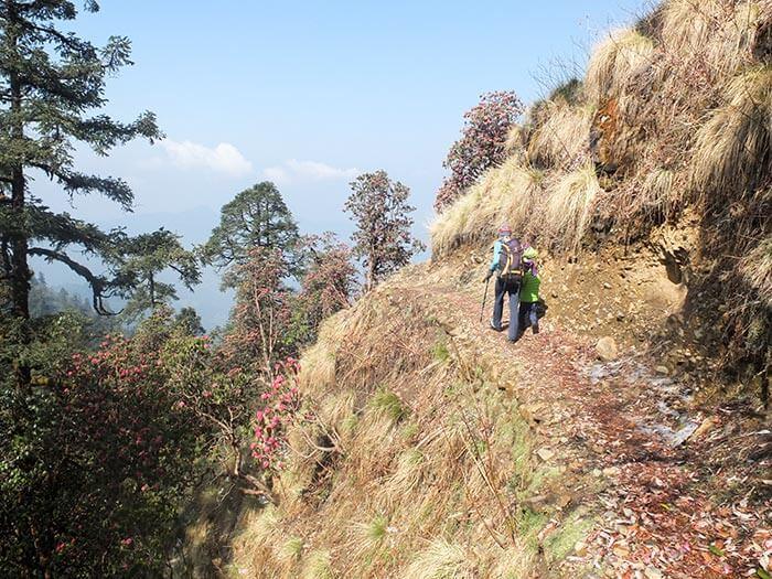 chemin à travers les rhododendrons sur un trek au Népal