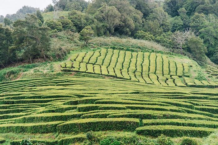 les plantations de thé de Chá Porto Formoso aux Açores