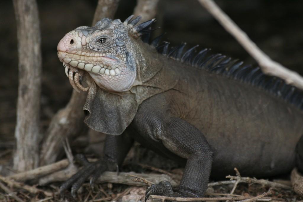 Iguane Guadeloupe