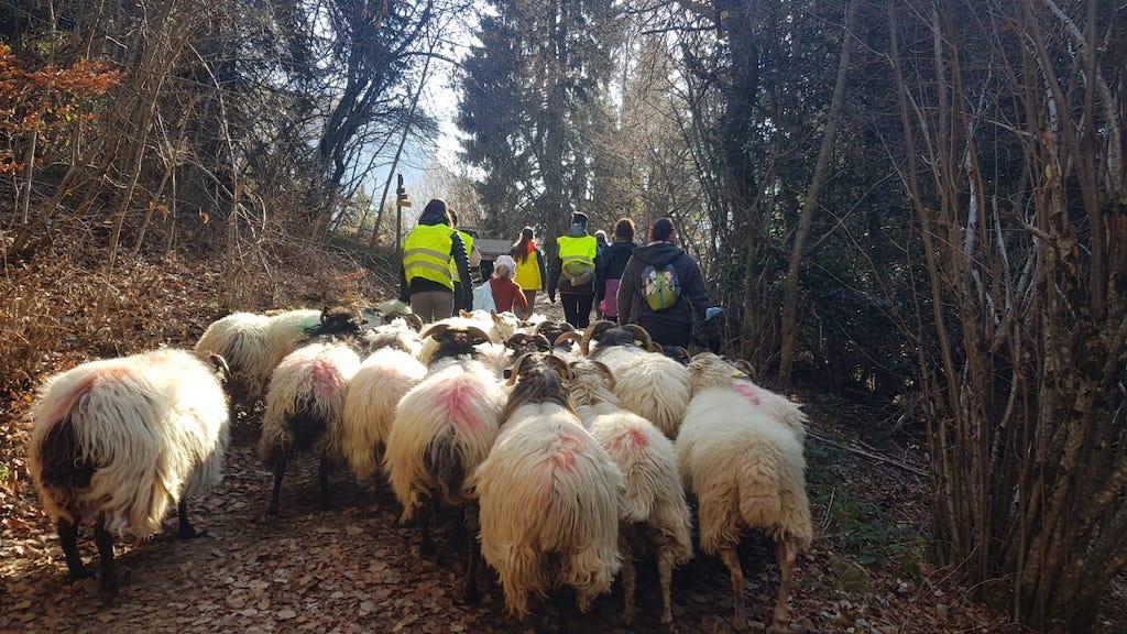 transhumance en Savoie