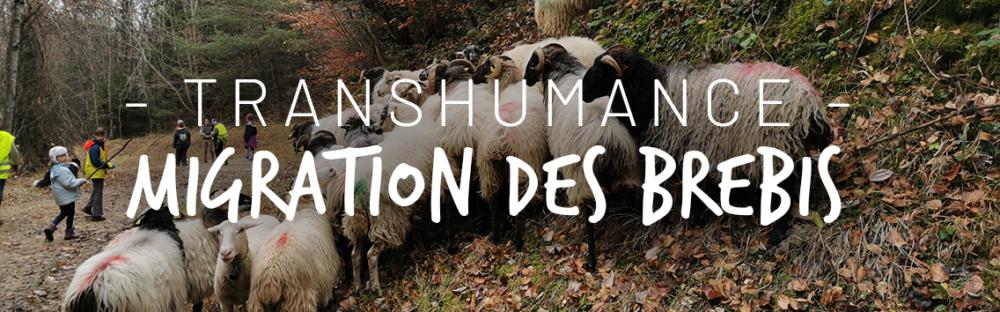 La petite transhumance en Savoie des brebis des Granges de Joigny à la bergerie de Le Devin